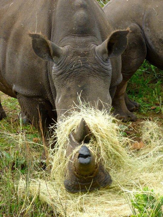 Big 5 Volunteer Rhino 3